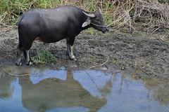 Water Buffalo (Bob Hawley) Tags: manzhoutownship pingtung asia taiwan nikond7100 nikon2870mmf3545afd outdoors animals waterbuffaloes bubalusbubalis domesticanimals young juvenile calf water