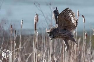 Great Grey Owl of the Adirondacks | 2017 - 6