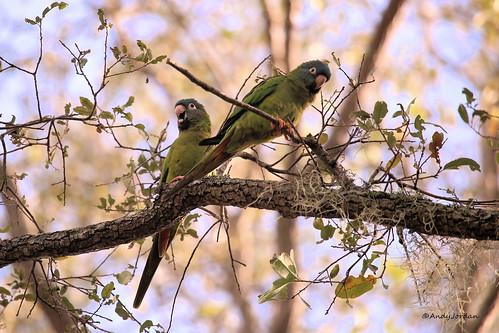 2273 Blue-crowned Parakeet (Thectocercus acuticaudatus) 2017_7566