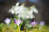 More spring flowers (derliebewolf) Tags: helios helios442 zenitar madeinudssr swirlybokeh bokeh spring crocus flowers meadow green white d600 nature macro tc14 forest woods wood galanthus dof adventure hiking hss