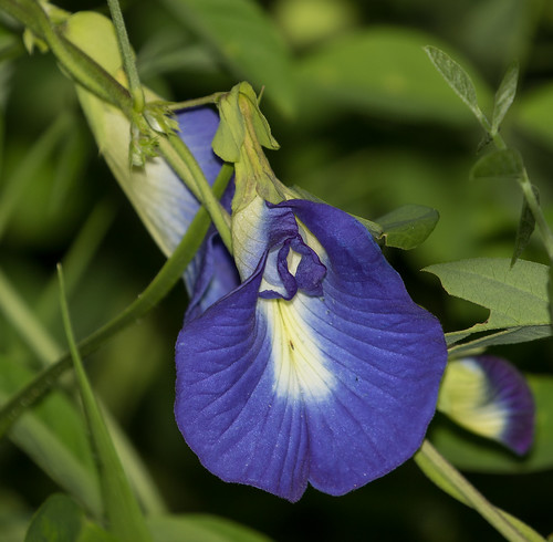 Clitoria ternatea, commonly known as Asian pigeonwings, bluebellvine, blue pea, butterfly pea, cordofan pea and Darwin pea