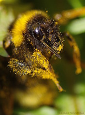 Hello.......Bee covered in dandilion pollen (favmark1) Tags: bee pollen 2017 365 day100 365challenge kent
