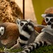 Group of Ring Tailed Lemurs