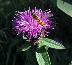 Maybe Marmalade (Bricheno) Tags: macro insect scotland escocia szkocja hoverfly schottland scozia cosse lochwinnoch howwood episyrphusbalteatus  esccia   bricheno scoia