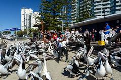 Not Liking Getting Covered in Fish (Jocey K) Tags: sky people seagulls pelicans birds architecture buildings sand labrador shadows australia queensland feedingtime surfersparadise goldcoast triptoqueenslandbrisbane