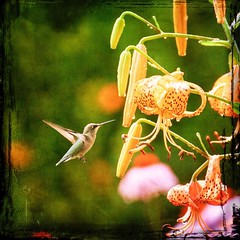 Hummingbirds are always hungry. (msconsulting) Tags: summer orange flower green bird texture photoshop garden square backyard hummingbird annarbor squareformat tigerlily lightroom tamron70300 blendingmode canon7d instagramapp uploaded:by=instagram
