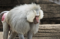 Baboon (mikemcnary) Tags: red animal fur penis zoo us unitedstates natural southcarolina columbia ape baboon primate mokey