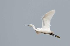 Egret in flight (mickrobinson37) Tags: whiteegret flyingegret
