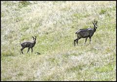 Femelle chamois et son petit (wilphid) Tags: montagne animaux parc montblanc sauvage hautesavoie faune leshouches parcdemerlet