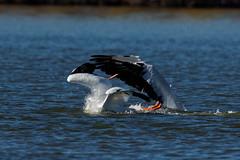 Deep dive (dcstep) Tags: urban usa nature colorado pelican urbannature handheld allrightsreserved americanwhitepelican cherrycreekstatepark copyright2015davidcstephens dxoopticspro1051 y6a9585dxosrgb