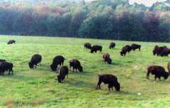 Where the Buffalo Roam (RockN) Tags: ranch massachusetts newengland rutland bison americanbuffalo