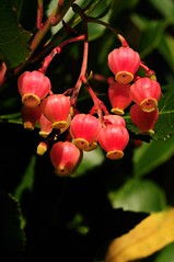 Arbutus Unedo 'Rubra'. Strawberry-tree. (All Botanical Photography) Tags: pink red white evergreen ericaceae strawberrytree pinkflowers arbutusunedo redfruits roundfruits
