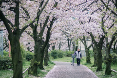 DSC_6718editlow (inbed) Tags: nikon df cherryblossom sakura osaka sakuranomiya