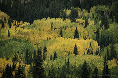 Arboral Variations (Laurie-B) Tags: autumn usa mountain west fall america landscape us colorado unitedstatesofamerica north central september american northamerica mountainside aspen maroonbells northamerican 2015 dpca