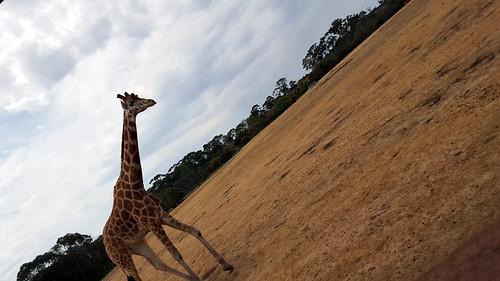 Giraffe standing vertically