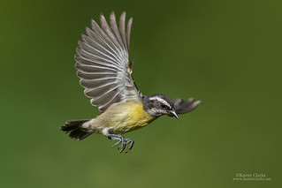 Bananaquit in flight