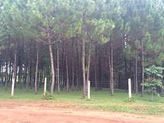 PINE FOREST-MPIGI