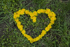 Mr. Dandelion Heart (Whimsy_zen) Tags: nature whimsy dandelion