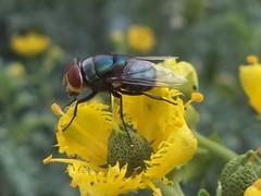 DSC02817 (alfredoeloisa) Tags: animalia arthropoda diptera calliphoridae insecta hexapoda pterygota chrysomyamegacephala neoptera endopterygota brachycera orientallatrinefly chrysomya muscomorpha