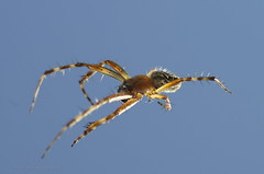 "araña en vuelo • <a style=""font-size:0.8em;"" href=""http://www.flickr.com/photos/15452905@N02/30987992144/"" target=""_blank"">View on Flickr</a>"