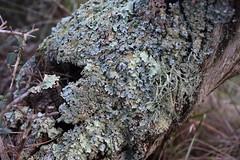 Líquenes sobre tronco de olivo (esta_ahi) Tags: liquen líquenes lichen tronc tronco olivera olivo oleaeuropaea gavarrosa gavarrossa lagavarrosavella torrellesdefoix penedés barcelona spain españa испания