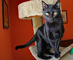 Batman Looking Elegant (Ellsasha) Tags: batman cats felines black blackcats mischievous mischief adventurous negro gato gatos animals rescue feral animalplanet pet