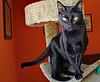 Batman Looking Elegant (Ellsasha) Tags: batman cats felines black blackcats mischievous mischief adventurous negro gato gatos animals rescue feral animalplanet pet