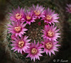 Cactus flowers-2 (Pol/S) Tags: mammillaria cactus flower newzealand macro christchurch spines closeup garden house plant succulent