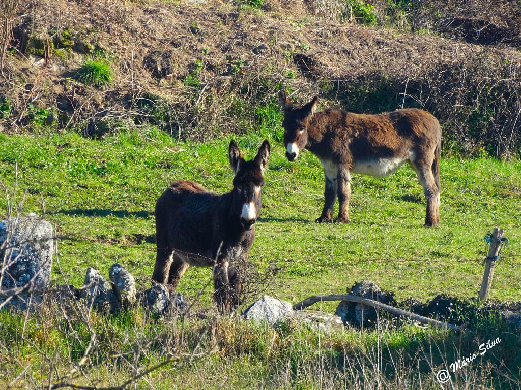 Águas frias (Chaves) - ...burros ... que de burros não têm nada ...