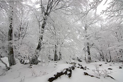The frozen forest (Hector Prada) Tags: bosque hielo invierno nieve hayedo frio forest ice frozen snow tree fog niebla mist white cold naturaleza nature hectorprada winter