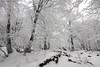 The frozen forest (Hector Prada) Tags: bosque hielo invierno nieve hayedo frio forest ice frozen snow tree fog niebla mist white cold naturaleza nature hectorprada winter