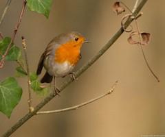 Redbreast  - Rouge-gorge familier - Erithacus rubecula (jymandu) Tags: