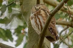 Sleeping Beauty (bcbirdergirl) Tags: northernsawwhetowl bc aegoliusacadicus nocturnal owl tiny cute sleeping sleepy sleepingbeauty cutiepie birdofprey
