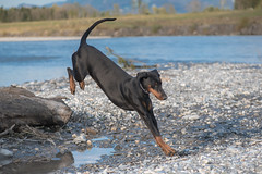 Dobermann 009 (bertheeb) Tags: dobermann hund nikon