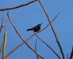 Amethyst Sunbird (tapaculo99) Tags: africa malawi birds aves sunbird amethystsunbird chalcomitraamethystina