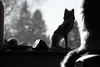 Guarding the North (Elisabeth Rose Astwood) Tags: window wolf guard watching blackandwhite