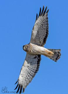 Male Northern Harrier.
