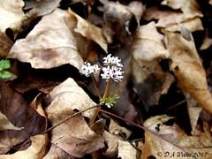 Salt 'n' Pepper (Picsnapper1212) Tags: saltandpepper harbingerofspring flower early plant nature hiseypark warrencounty ohio wildflower