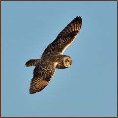 Short-eared Owl (image 1 of 3) (Full Moon Images) Tags: east anglia fens cambridgeshire bird prey birdofprey wildlife nature flight flying shorteared owl short eared seo