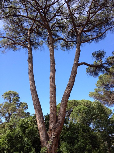Significant pine tree #2