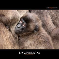 GELADA BABOON (Matthias Besant) Tags: animal animals tier tiere querformat africa african afrika afrikanisch afrikanische deutschland afrikanischer afrikanisches mammal saeugetier affen monkey affe saeugetiere mammals monkeys baboon pavian backentaschenaffe cercopithecidae cercopithecinae meerkatzenverwandte pavianartige altweltaffe altweltaffen baboons backentaschenaffen catarrhini oldworldmonkey oldworldmonkeys paviane blutbrustpavian blutbrustpaviane dschelada gelada geladababoon geladababoons geladas papionini pavianartig theropithecus theropithecusgelada matthiasbesantphotography