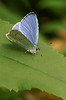 Celastrina argiolus (henk.wallays) Tags: aaaa arthropoda bläulinge butterfly celastrina celastrinaargiolus falter henkwallays insect lepidoptera lycaenidae lycaenids mariposa nature schmetterlinge tagfalter vlinders blauwtjes butterflies closeup dagvlinder gossamerwinged insecta insecte insekt lepidoptere macro natuur papillon skubvlerkiges sommerfugl vlinder wildlife ô·tia̍p πεταλούδα дневнитепеперуди лускакрылыя тәңкәҡанатлылар күбәләктәр матылі