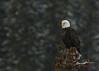 Bald Eagle...#1 (Guy Lichter Photography - 3.2M views Thank you) Tags: canon 5d3 canada alberta banffnationalpark wildlife animals birds eagles baldeagle