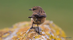 'Chat (Peter J. Ham.) Tags: bird chats stonechat life colour wirral nature natu rock perch feathers light wow rural countryside avies aves oiseaux vogel flyer canon canon7d eos