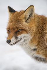 Semi profile of the vixen (Tambako the Jaguar) Tags: semiprofile portrait face tooth cute fox redfox female vixen snow winter cold arth goldau tierpark zoo switzerland nikon d5