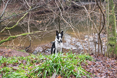 By the river (D.A.M) Tags: camping 2017 hiking backpacking woods thewoods forest tree trees eastlothian eastsaltoun westsaltoun saltounbigwood saltoun humbiewoods humbie winter dog dogs bordercollie river