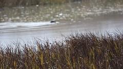 Alviso Nessie Revisited (tourtrophy) Tags: harborseal seal mammal alviso alvisomarinacountypark