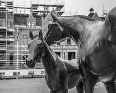 IMG_4387 (Scott Martin Calgary) Tags: calgary alberta canada ca downtowncalgary sculptures horses oldcityhall calgarycityhall blackwhite
