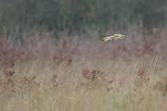 Short-eared owl bif (skees499 ) Tags: velduil keesmolenaar bif sunset nikon d500 panning netherlands owl shortearedowl ngc asioflammeus distinguishedraptors