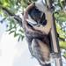 Geoffroy's tamarin monkey - wild titi monkeys gamboa panama pandemonio 2017 - 19
